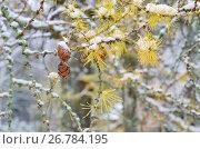 Купить «Ветки лиственницы с шишками, запорошенные первым снегом», эксклюзивное фото № 26784195, снято 27 октября 2016 г. (c) Елена Коромыслова / Фотобанк Лори