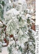 Купить «Обледеневшие заснеженные ветки сосны после ледяного дождя», фото № 26784235, снято 15 ноября 2016 г. (c) Елена Коромыслова / Фотобанк Лори