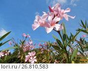 Купить «Цветущий олеандр (лат. Nerium oleander) с нежными розовыми цветками», эксклюзивное фото № 26810583, снято 2 августа 2017 г. (c) lana1501 / Фотобанк Лори