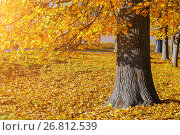 Купить «Autumn picturesque landscape - spreading autumn tree with fallen yellow autumn leaves under sunlight», фото № 26812539, снято 9 октября 2016 г. (c) Зезелина Марина / Фотобанк Лори