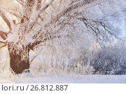 Купить «Winter landscape with old frosty winter tree in the sunlight. Winter landscape scene with snow covered winter tree», фото № 26812887, снято 11 января 2010 г. (c) Зезелина Марина / Фотобанк Лори