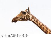 Купить «close up of giraffe head», фото № 26814619, снято 21 февраля 2017 г. (c) Syda Productions / Фотобанк Лори