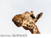 Купить «close up of giraffe head», фото № 26814631, снято 21 февраля 2017 г. (c) Syda Productions / Фотобанк Лори