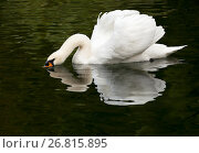 White swan floating on the surface of the water in the lake in the woods. Стоковое фото, фотограф Сергей Панкин / Фотобанк Лори