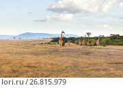 Купить «group of giraffes in savannah at africa», фото № 26815979, снято 18 февраля 2017 г. (c) Syda Productions / Фотобанк Лори