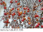 Купить «Обледеневшие ветки яблони с яблоками после ледяного дождя», фото № 26817195, снято 13 ноября 2016 г. (c) Елена Коромыслова / Фотобанк Лори