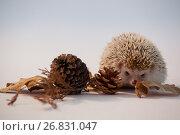 Купить «Porcupine with pine cone and autumn leaves on white background», фото № 26831047, снято 11 апреля 2017 г. (c) Wavebreak Media / Фотобанк Лори