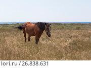 Купить «Лошадь привязанная цепью пасётся на берегу Чёрного моря в Крыму», фото № 26838631, снято 20 июля 2017 г. (c) Николай Мухорин / Фотобанк Лори