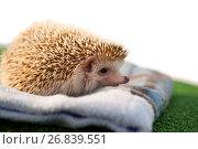 Porcupine on towel. Стоковое фото, агентство Wavebreak Media / Фотобанк Лори