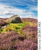Купить «Heather in Bloom around a Boulder on Low Moor near Bewerley Pateley Bridge Nidderdale AONB Yorkshire England.», фото № 26861443, снято 10 августа 2017 г. (c) age Fotostock / Фотобанк Лори