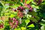 Спирея японская цветущая в городском парке, фото № 26868991, снято 13 июля 2017 г. (c) Татьяна Белова / Фотобанк Лори