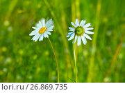 Купить «Две ромашки на фоне летнего поля», фото № 26869735, снято 13 июля 2017 г. (c) Татьяна Белова / Фотобанк Лори