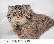 Манул, или Палласов кот, или дикий кот. Стоковое фото, фотограф Галина Савина / Фотобанк Лори