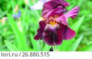 Купить «Pink iris on flower bed closeup», видеоролик № 26880515, снято 7 июня 2017 г. (c) Володина Ольга / Фотобанк Лори