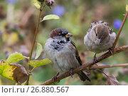 Купить «Street sparrow on a branch - telephoto», фото № 26880567, снято 5 сентября 2017 г. (c) Константин Шишкин / Фотобанк Лори