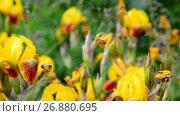 Купить «Yellow iris on flower bed closeup», видеоролик № 26880695, снято 8 июня 2017 г. (c) Володина Ольга / Фотобанк Лори
