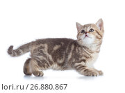 Side view of funny little Scottish straight cat kitten. Isolated on white background. Стоковое фото, фотограф Оксана Кузьмина / Фотобанк Лори