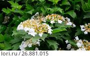 Купить «Kalina begins to bloom in early spring», видеоролик № 26881015, снято 7 июня 2017 г. (c) Володина Ольга / Фотобанк Лори