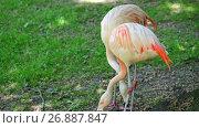 Купить «Flamingos are a type of wading bird», видеоролик № 26887847, снято 24 августа 2017 г. (c) BestPhotoStudio / Фотобанк Лори