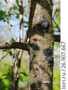 Купить «Божьи коровки на стволе дерева», эксклюзивное фото № 26907667, снято 14 мая 2016 г. (c) Юрий Морозов / Фотобанк Лори