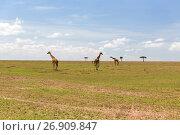 Купить «giraffes in savannah at africa», фото № 26909847, снято 20 февраля 2017 г. (c) Syda Productions / Фотобанк Лори