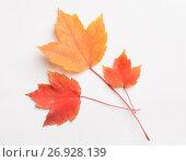 Купить «Autumn leaves on a white», фото № 26928139, снято 8 ноября 2016 г. (c) Типляшина Евгения / Фотобанк Лори