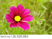Купить «Pink cosmos flower - in Latin Cosmos Bipinnatus - in the meadow», фото № 26929083, снято 10 сентября 2017 г. (c) Зезелина Марина / Фотобанк Лори