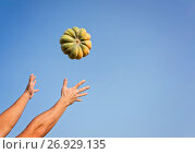 Купить «Hands of a man throwing a ripe pumpkin», фото № 26929135, снято 9 сентября 2017 г. (c) Kira_Yan / Фотобанк Лори