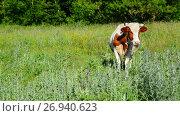 motley cows grazing in meadow, Russia. Стоковое видео, видеограф Володина Ольга / Фотобанк Лори