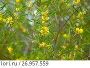 Купить «acacia dodonaefolia flowers», фото № 26957559, снято 21 октября 2018 г. (c) Яков Филимонов / Фотобанк Лори
