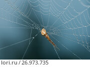 Купить «Макро съёмка. Паук висит на нитках паутины, покрытых каплями росы», эксклюзивное фото № 26973735, снято 1 сентября 2017 г. (c) Игорь Низов / Фотобанк Лори