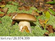 Купить «Белый гриб или боровик (лат. Boletus edulis) растет в лесу», эксклюзивное фото № 26974399, снято 23 сентября 2017 г. (c) Елена Коромыслова / Фотобанк Лори