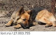 Собака на цепи. Стоковое видео, видеограф Олег Хархан / Фотобанк Лори