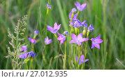 Купить «Lilac Wildflowers on meadow close-up», видеоролик № 27012935, снято 7 июня 2017 г. (c) Володина Ольга / Фотобанк Лори