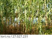 Купить «Заросли бамбука у береговой черты моря. Абхазия», эксклюзивное фото № 27027231, снято 11 сентября 2017 г. (c) Александр Щепин / Фотобанк Лори