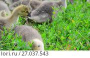 Купить «young geese eating grass», видеоролик № 27037543, снято 12 июля 2017 г. (c) Володина Ольга / Фотобанк Лори