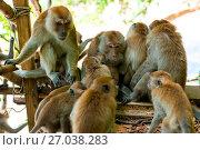 Купить «amicable family of monkeys are kept together in the wild», фото № 27038283, снято 8 ноября 2016 г. (c) Константин Лабунский / Фотобанк Лори