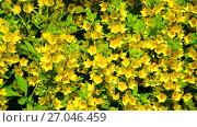Купить «Lysimachia vulgaris swaying in the wind», видеоролик № 27046459, снято 26 июня 2017 г. (c) Володина Ольга / Фотобанк Лори