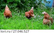 Купить «Beautiful thoroughbred chickens pinch the grass in courtyard», видеоролик № 27046527, снято 1 июля 2017 г. (c) Володина Ольга / Фотобанк Лори