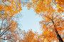 Autumn trees. Orange autumn trees tops against blue sky. Autumn natural view of autumn trees, фото № 27048327, снято 9 октября 2016 г. (c) Зезелина Марина / Фотобанк Лори