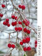 Купить «Обледенелые ветви и ягоды боярышника после ледяного дождя», эксклюзивное фото № 27054927, снято 11 ноября 2016 г. (c) Елена Коромыслова / Фотобанк Лори