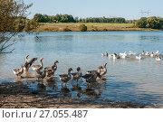 Купить «Стая домашних гусей в водоёме», эксклюзивное фото № 27055487, снято 25 сентября 2017 г. (c) Игорь Низов / Фотобанк Лори