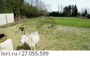 Купить «Woman leaning at farm fence and looking goats 4k», видеоролик № 27055599, снято 21 апреля 2019 г. (c) Wavebreak Media / Фотобанк Лори