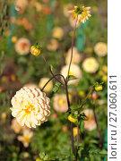 Купить «Яркий солнечный георгин в саду», эксклюзивное фото № 27060611, снято 8 октября 2017 г. (c) Svet / Фотобанк Лори