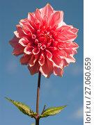 Купить «Большой розовый георгин на фоне голубого неба», эксклюзивное фото № 27060659, снято 8 октября 2017 г. (c) Svet / Фотобанк Лори