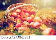 Купить «wicker basket of ripe red apples at autumn garden», фото № 27062851, снято 12 октября 2016 г. (c) Syda Productions / Фотобанк Лори