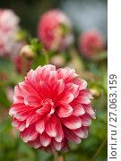 Купить «Георгин в саду, фокус цветке», эксклюзивное фото № 27063159, снято 8 октября 2017 г. (c) Svet / Фотобанк Лори