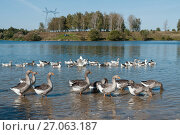 Купить «Много домашних гусей купаются в реке», эксклюзивное фото № 27063187, снято 25 сентября 2017 г. (c) Игорь Низов / Фотобанк Лори
