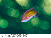 RF - Shallow depth of field portrait of male Scalefin anthia (Pseudanthias squamipinnis) swimming in open water above coral reef photographed against sunset... Стоковое фото, фотограф Alex Mustard / Nature Picture Library / Фотобанк Лори