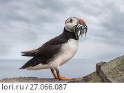 Купить «RF - Puffin (Fratercula arctica) with sandeels in beak, Farne Islands, Northumberland, UK, July 2016», фото № 27066087, снято 21 апреля 2019 г. (c) Nature Picture Library / Фотобанк Лори